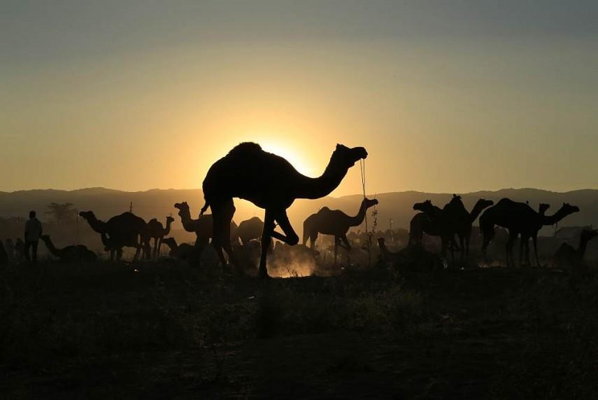 Pushkar Camel Fair 1