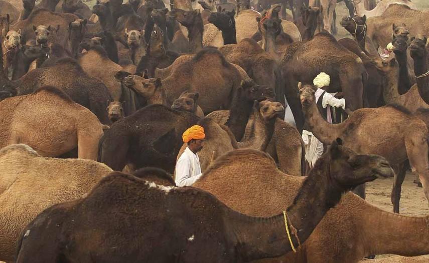 Pushkar Camel Fair 8