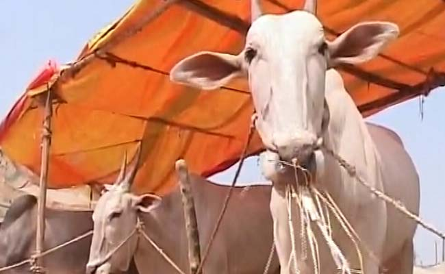 अब बूचड़खानों के लिए पशुओं की खरीद-फरोख्त नहीं होगी, मोदी सरकार ने लिया फैसला :